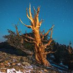 Bristlecone love copy